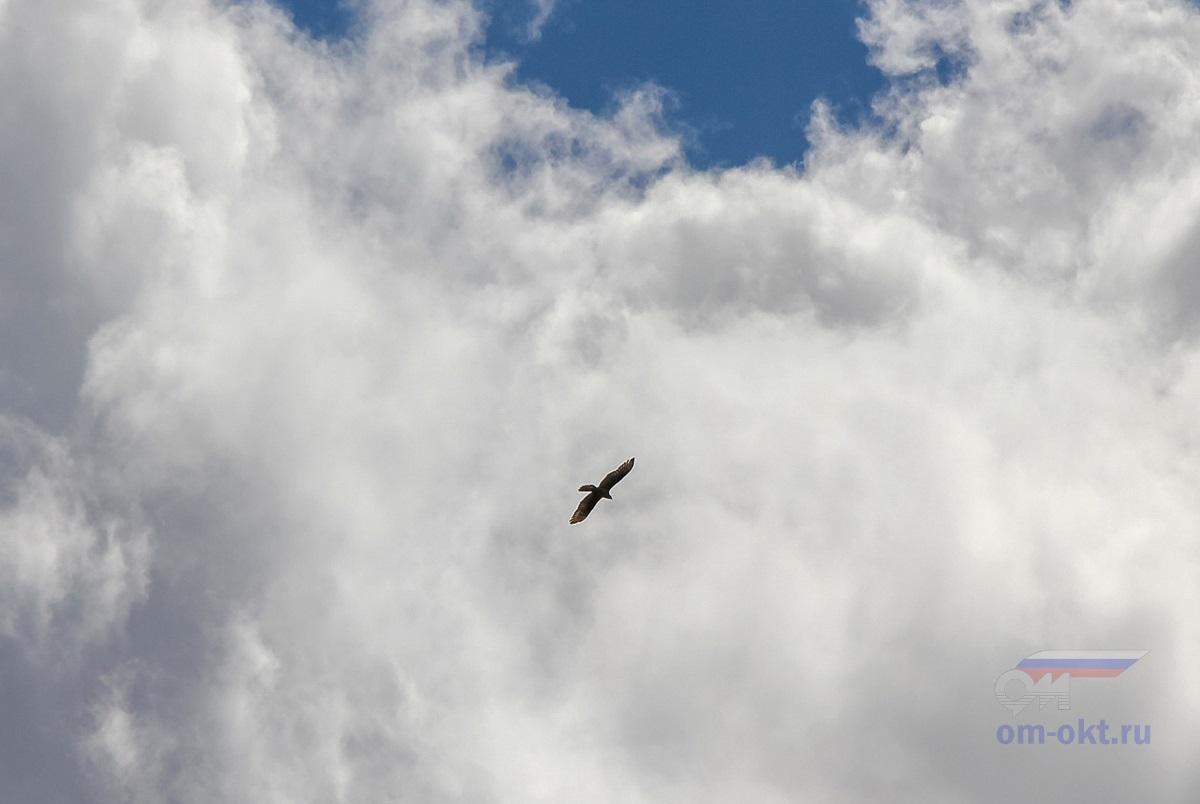 Беркут в небе в окрестностях Лихославля